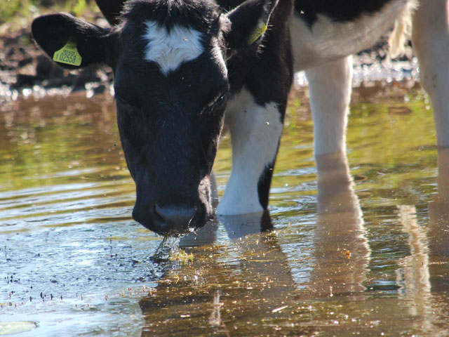 a black and white cow stands in shallow water drinking
