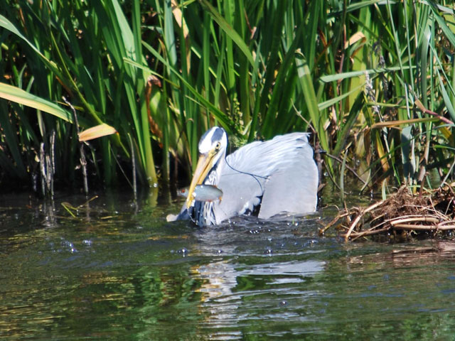 a heron holding a freshly caught fish in his beak among the reeds by the bank of the lancaster canal