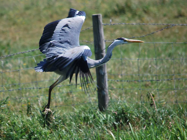 a heron caught in the act of taking flight behind the bird is a wire fence