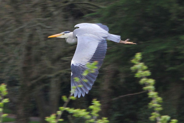 a heron in flight above the lancaster canal with bare trees and early spring foliage