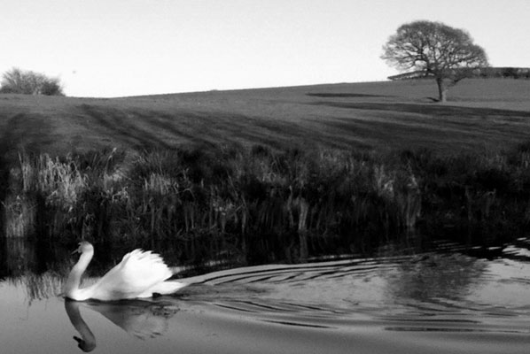 a swan swims across the surface of the lancaster canal image is black and white with a bare tree, field and reeds in the background