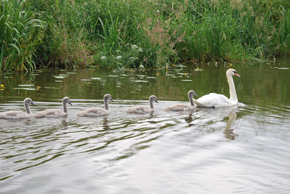 a swan with five cygnets in its wake swim along the lancaster canal with reeds in the background