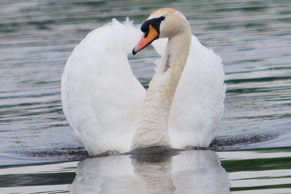 close up of a swan its wings raised forming a heart shape behind its head