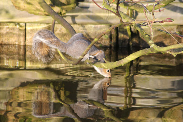 a squirrel on a branch overhanging the canal drinking from the canal water