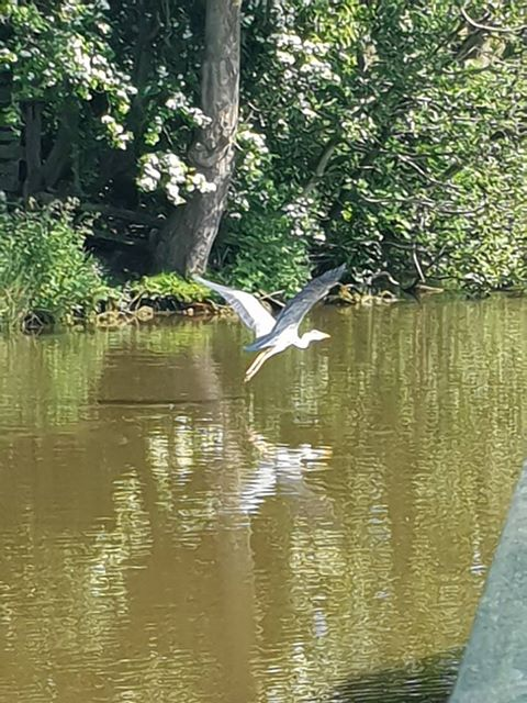 a herron taking flight from the water of the lancaster canal