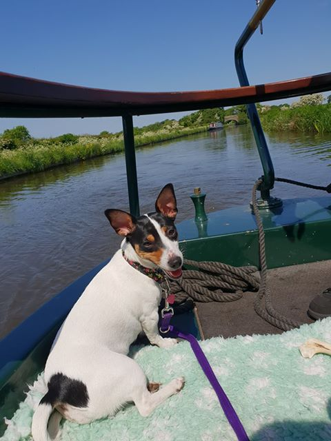 a happy looking dog in the prow of a narrowboat on the lancaster canal with a second narrowboat approaching in the distance with a background of blue sky and spring wildflowers