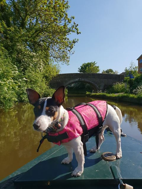 a jack russel dog stands on the prow of a narrowboat in the background are a stone bridge and spring wild flowers